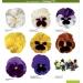 Viola x wittrockiana F1 Colossus® F1